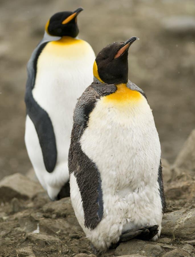 Ao rei pinguins, um no Moult fotografia de stock royalty free