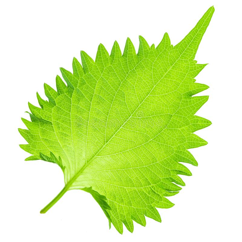 Aojiso Leaf. Isolate on white background stock images