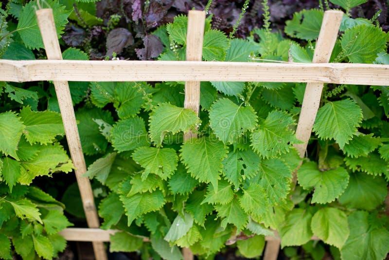 Aojiso or Oba leaves, Vegetable. Farm stock image