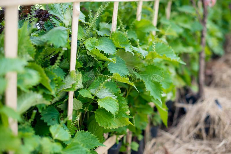 Aojiso or Oba leaves, Vegetable farm. In Thailand royalty free stock image