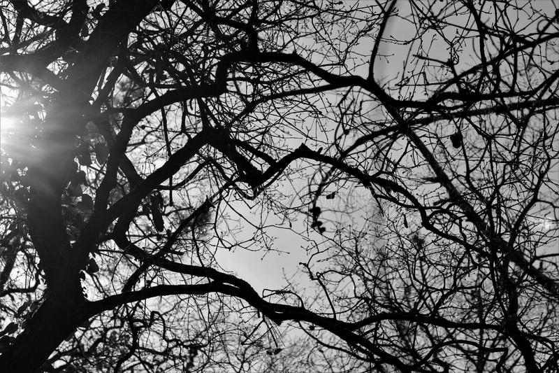 Aok tree B&W. Portuguese typical tree AOK in backlight Black&withe royalty free stock photo
