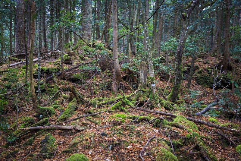 Aokigahara, δάσος βρύου στην Ιαπωνία στοκ φωτογραφία με δικαίωμα ελεύθερης χρήσης