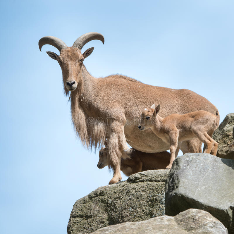 Free Aoudad Family Stock Image - 58530651