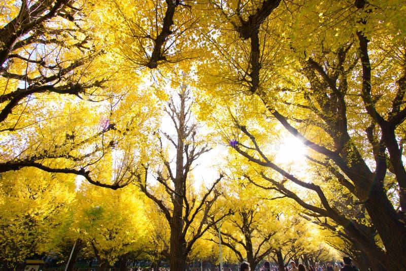 Meiji-jingu Gaien Park`s Ginkgo Avenue stock photo