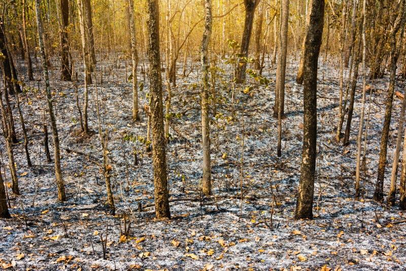 Após a árvore queimada na floresta imagem de stock royalty free
