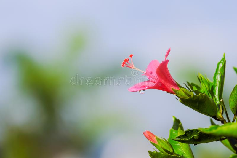 Após chover, a flor cor-de-rosa bonita pode ser chamada hibiscus rosa, porcelana a gota aumentou, gudhal ou do chaba da flor e da fotografia de stock royalty free
