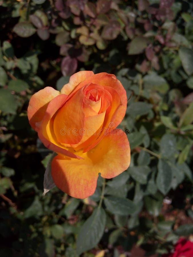 Após a chuva minha flor do jardim foto de stock