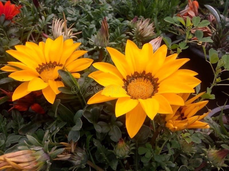 Após a chuva minha flor do jardim foto de stock royalty free