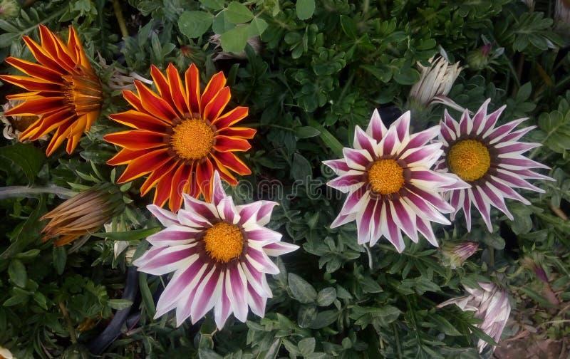 Após a chuva minha flor do jardim fotos de stock royalty free