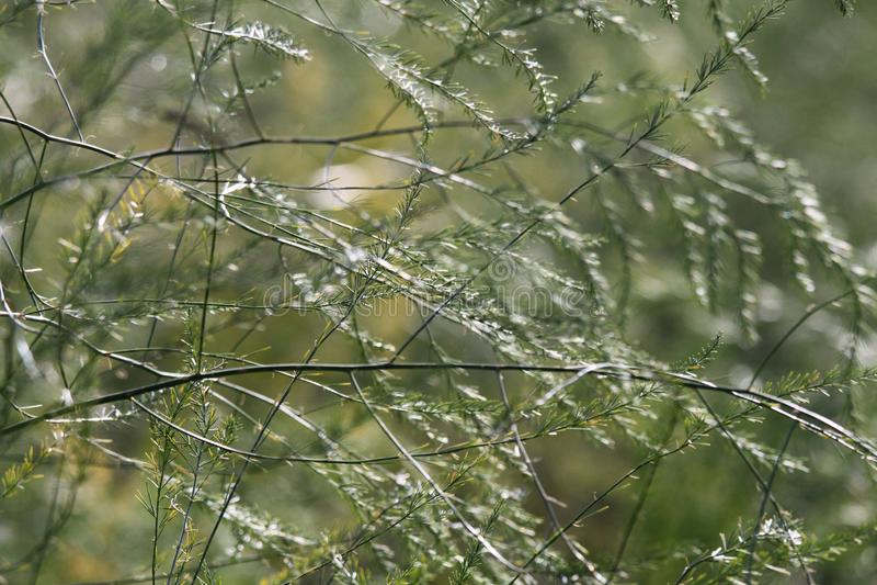 Após a colheita do aspargo em arbustos do verde do outono com galhos frágeis estão crescendo no campo com as sementes vermelhas n fotos de stock