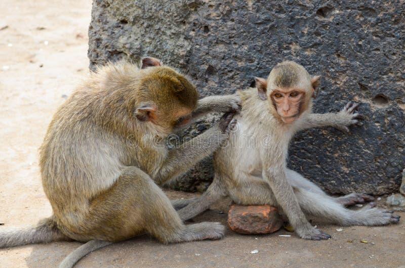 Apa denäta macaquen En medelstor apa, bruna mummel royaltyfri foto
