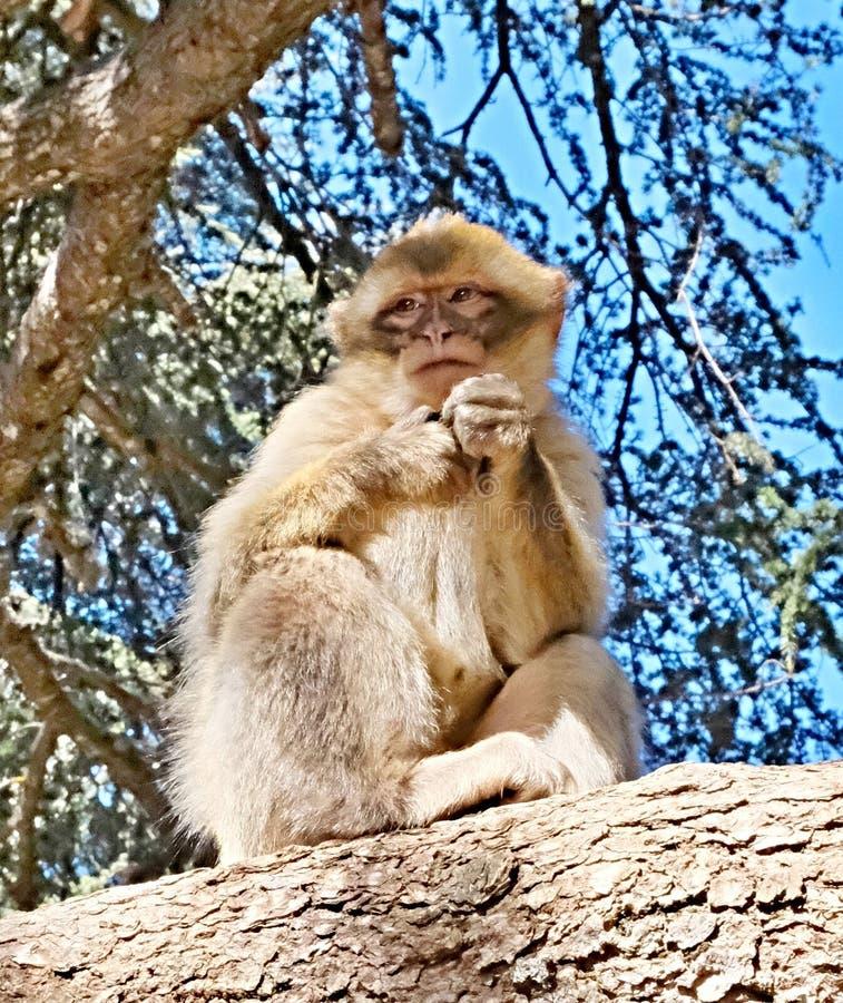 Apa från en flock av apor som fritt bor i kartbokbergen i Marocko Inte alls rätt av folk royaltyfria foton