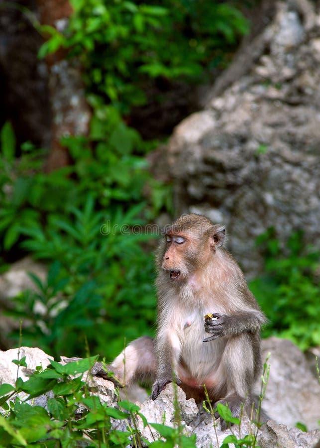 Apa i det Krabi Thailand djuret fotografering för bildbyråer