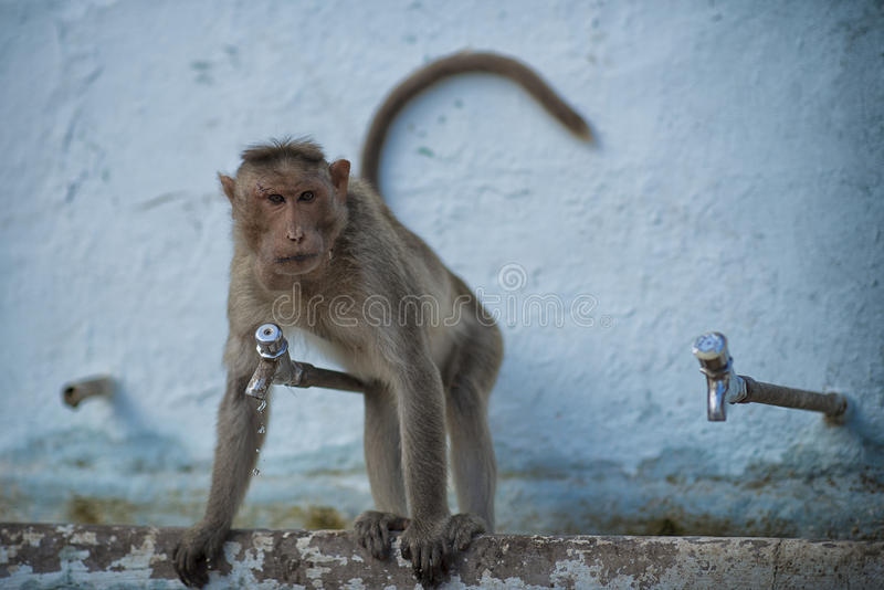 Apa i Indien royaltyfria foton