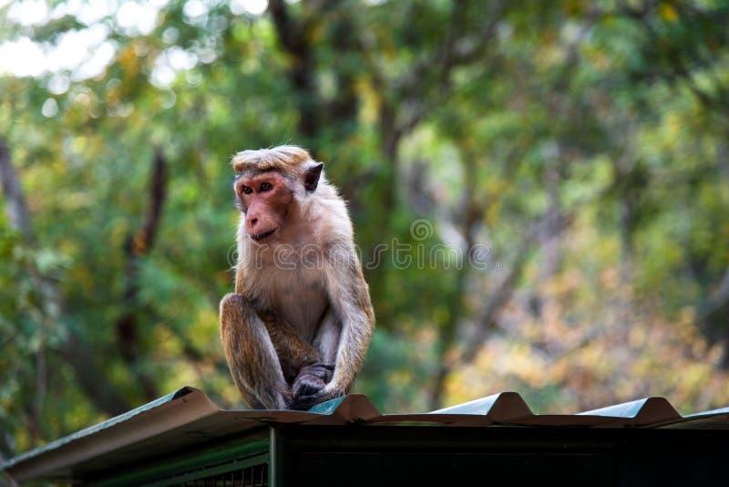 Apa i tropisk skog av Sri Lanka fotografering för bildbyråer
