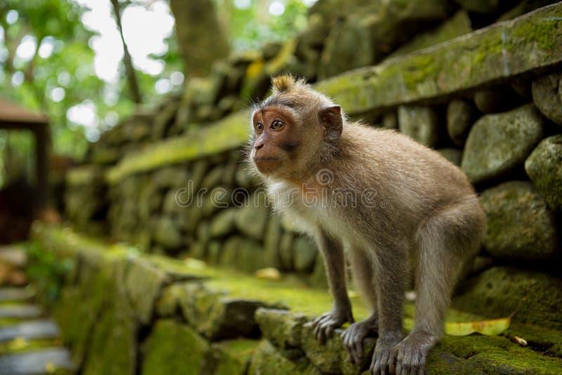 Apa i Ubud Bali arkivbild