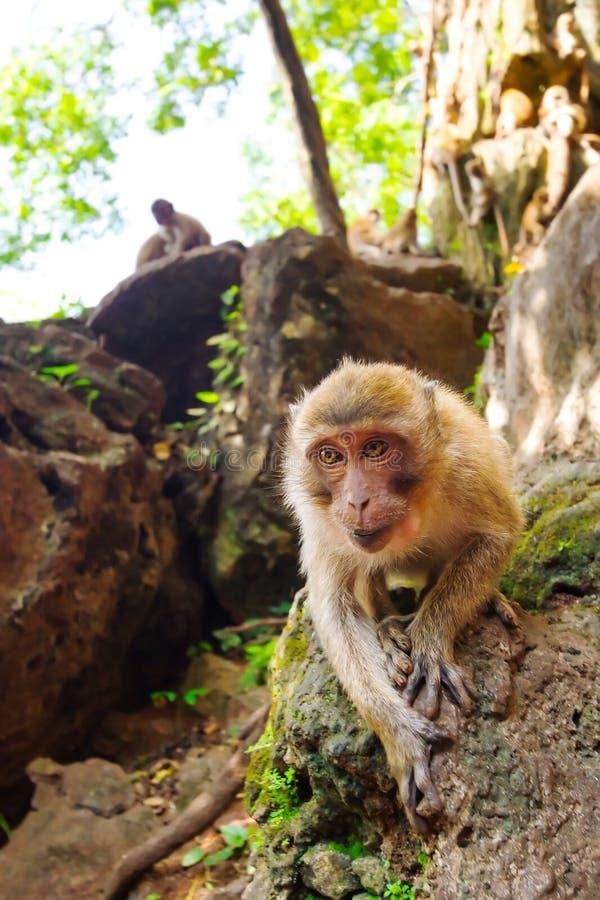 Apa i widelife, Thailand royaltyfria bilder