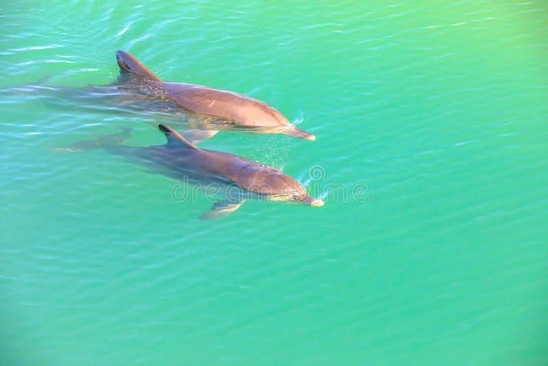 Apa Mia för två delfin royaltyfri bild