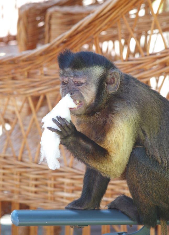 Apa som äter godisen royaltyfri bild
