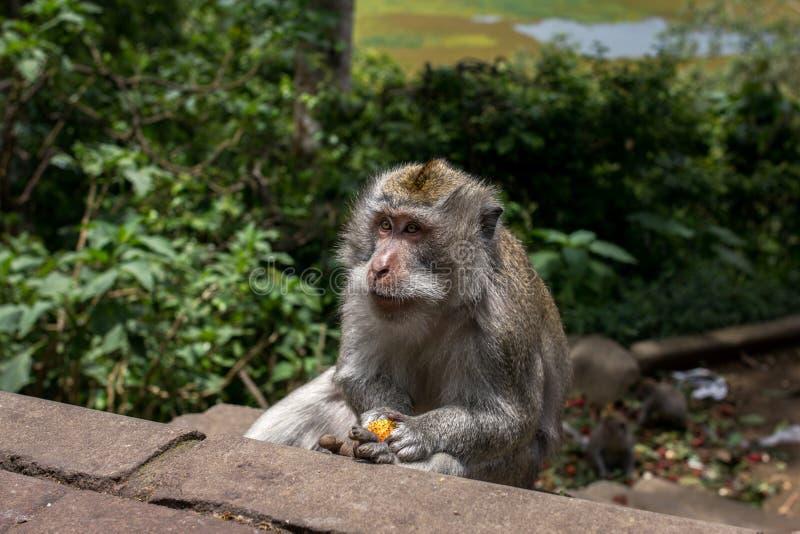 Apa som äter Lichi fotografering för bildbyråer
