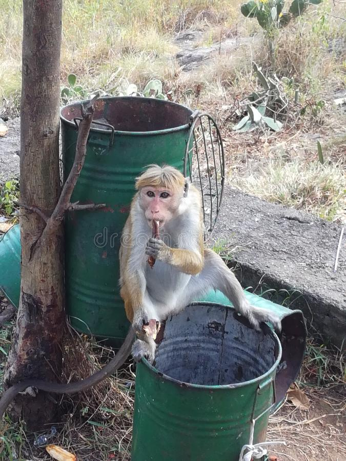 Apa som äter nära den guld- templet, Sri Lanka, Asien arkivbild