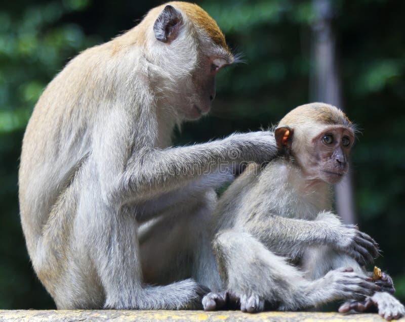 Apa som ansar dess barn i Thailand arkivbild