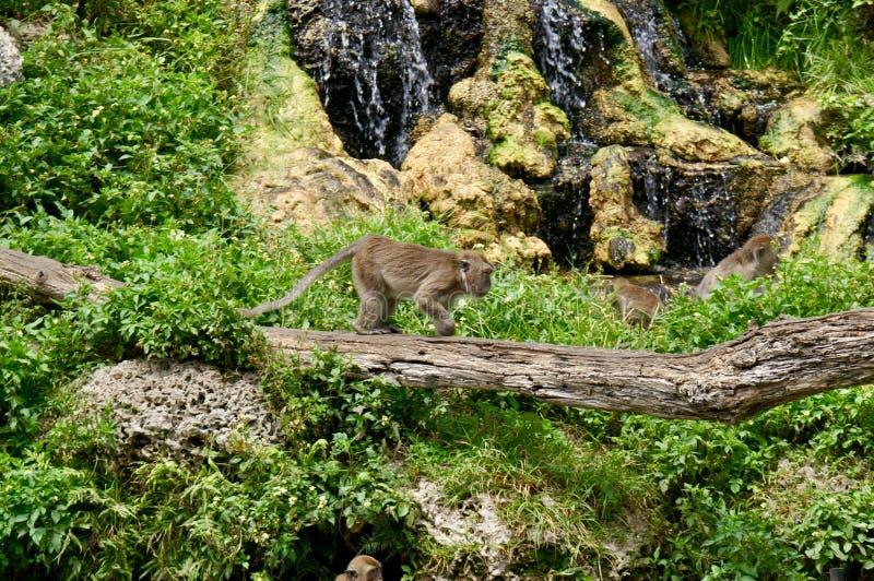 Apa som fritt kör i natur arkivfoton