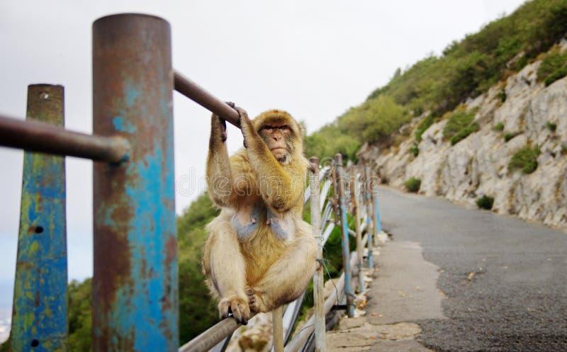 Apa som placerar på räcket Gibraltar lös bosatt apa royaltyfri bild
