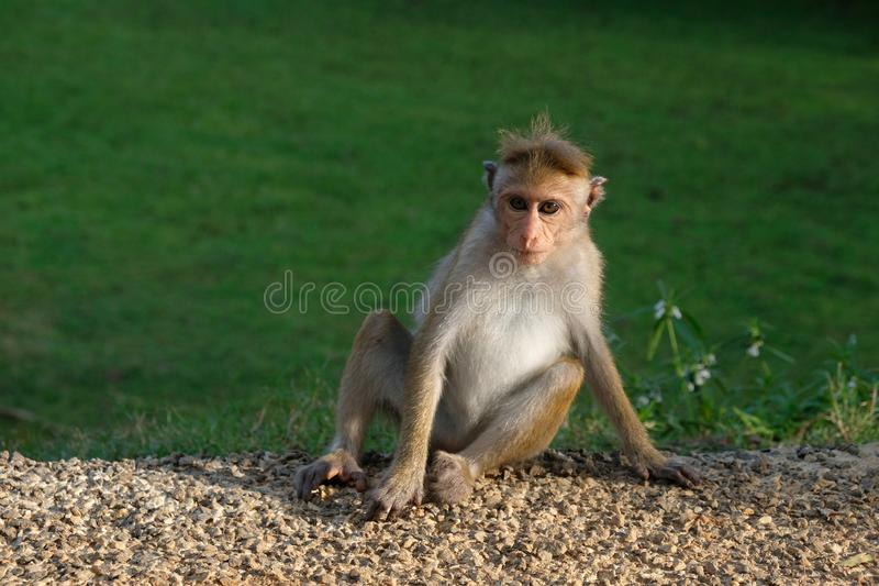 Apa som placerar så kallt i naturen, Sri Lanka, Asien royaltyfri bild