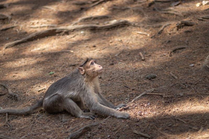 Apa som ser upp i skog royaltyfri foto