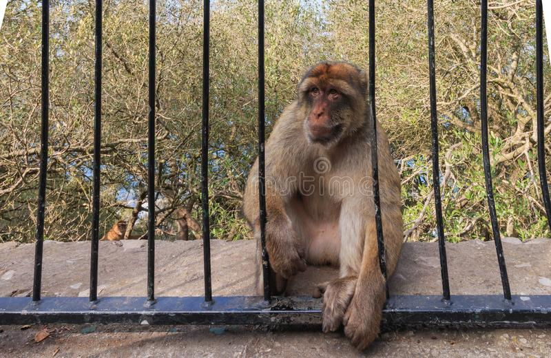 Apa som sitter mellan st?nger av staketet Gibraltar sommartid arkivbild