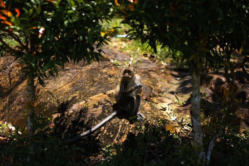 Apa som sitter under palmträd på den Ko Chang ön i Thailand i April, 2018 arkivbild