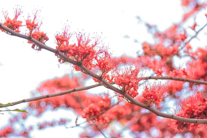 Apablommaträdet, avfyrar pakistanskt arkivfoton