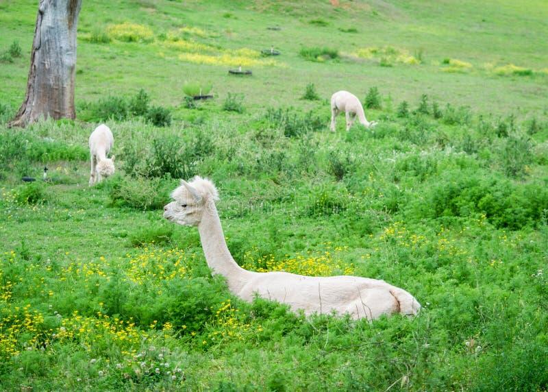 Apacas in pasture royalty free stock photo