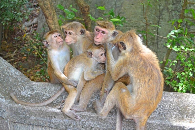 Apafamilj Sri Lanka royaltyfria foton