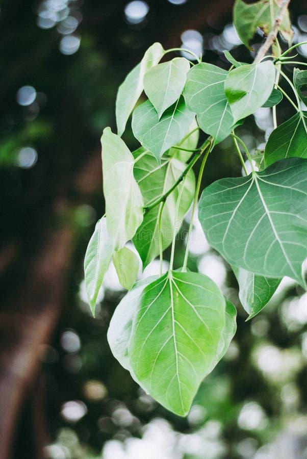 Apaiser vert part sur sa branche avec le fond de bokeh image libre de droits