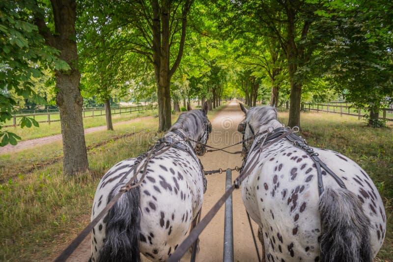 Apaloosa hästar drar en vagn royaltyfri bild