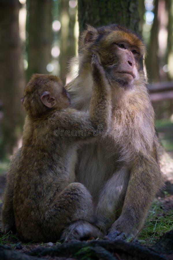 Apamoder med dess barn royaltyfri bild