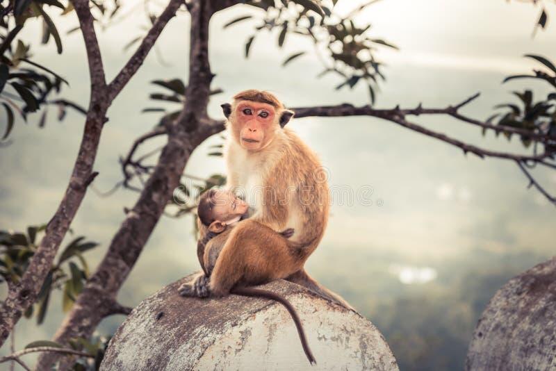 Apamoder som matar henne för att behandla som ett barn apan i lös naturbegreppsomsorg i lös natur fotografering för bildbyråer
