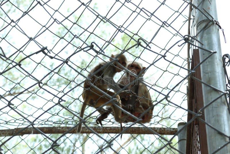 Apan är klyftiga sociala djur royaltyfria foton
