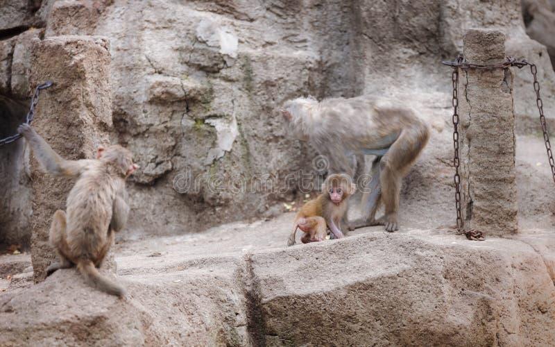 Apan behandla som ett barn viskning till hennes mamma fotografering för bildbyråer