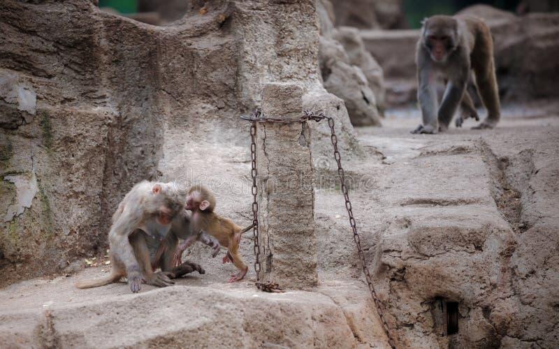 Apan behandla som ett barn viskning till hennes mamma arkivfoton