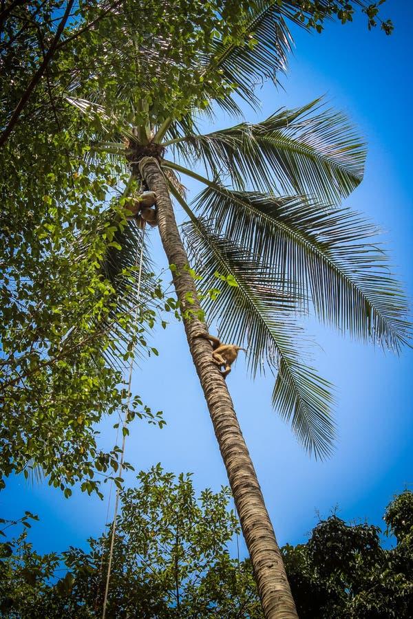 Apan klättrar på ett träd för att skörda skörden av cocoes royaltyfria bilder