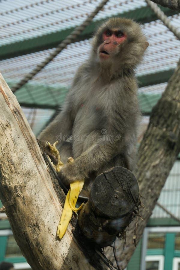 Apan med bananen kissar royaltyfri bild