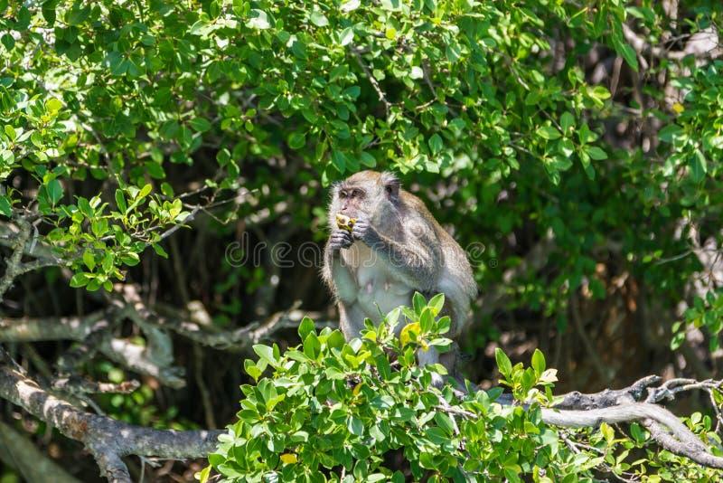 Apan sitter på ett träd och äter frukt Phuket, Thailand royaltyfri fotografi