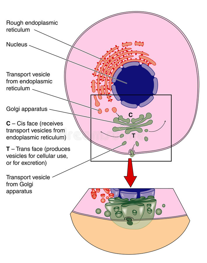 Aparato de Golgi stock de ilustración