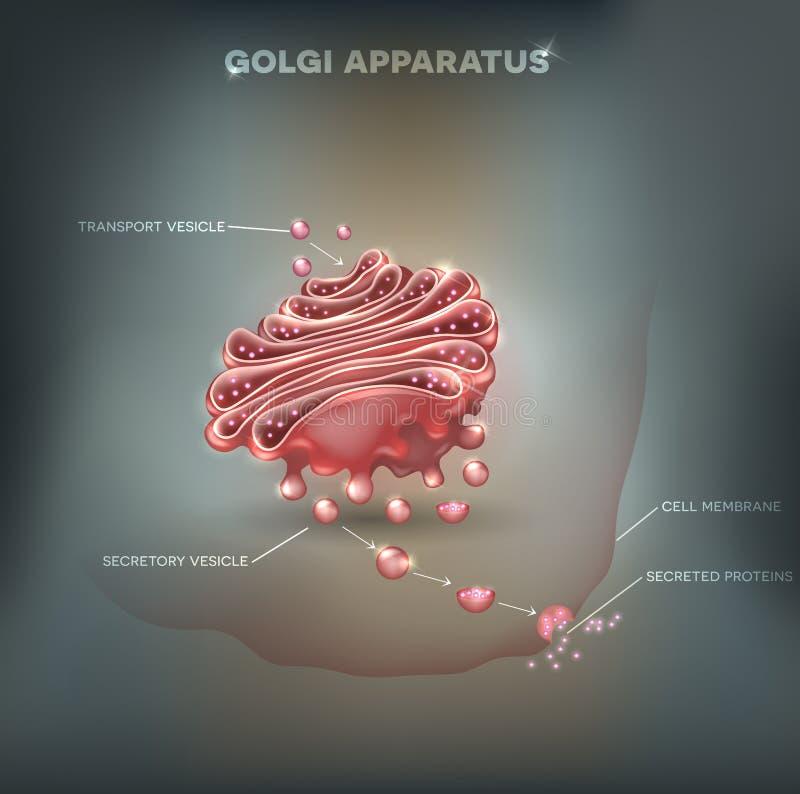 Aparato de Golgi ilustración del vector