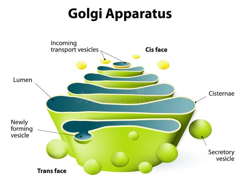 Aparato de Golgi o cuerpo de Golgi stock de ilustración