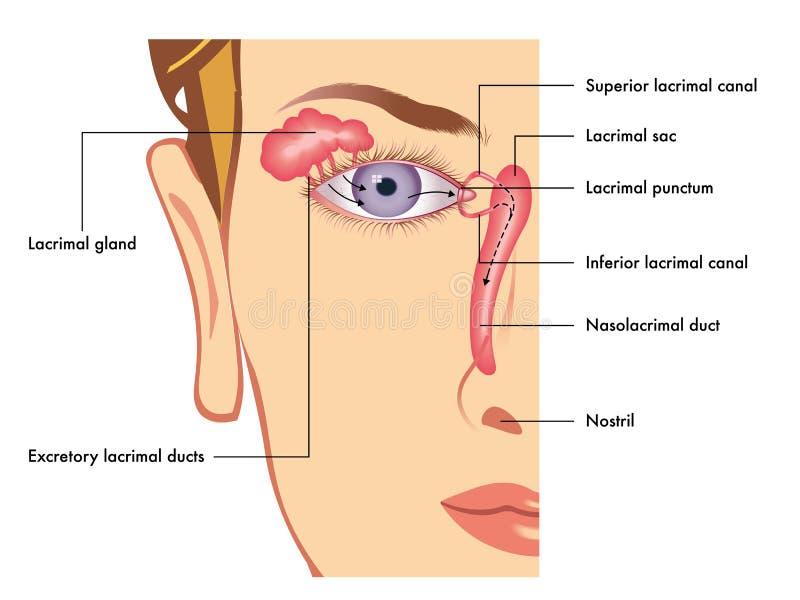 Aparato lacrimal stock de ilustración