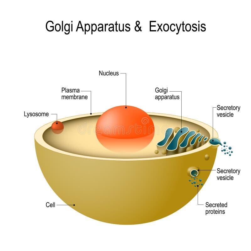 Aparato y exocitosis de Golgi stock de ilustración